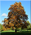 SU6674 : Veteran horse chestnut tree in The Arthur Newbery Park, Tilehurst, Berkshire by Edmund Shaw