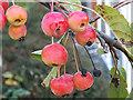 TM3863 : Ornamental Cherries at Waitrose Supermarket car park by Adrian Cable