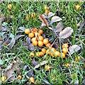 SJ9594 : Fallen berries by Gerald England