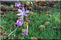 TF6928 : Autumn Crocus, Sandringham House, Sandringham, Norfolk by Christine Matthews