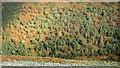 NT9229 : Woodland, Yeavering Bell by Richard Webb