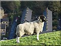 SE0411 : Blackface sheep above Marsden by Neil Theasby