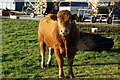 SE8233 : A bull at Hasholme Grange Farm, East Yorkshire by Ian S