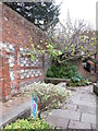 SU4829 : Fig tree in the walled garden by Virginia Knight