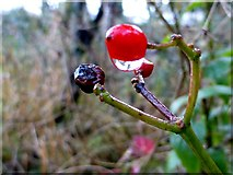 H4572 : Berry with raindrop, Omagh by Kenneth  Allen