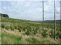 SN8256 : Young  forest on Esgair Cloddiad, Powys by Roger  Kidd