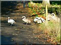 ST3708 : Mute swans, Cricket St Thomas, Chard by Brian Robert Marshall