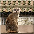 SP8658 : Challenged by a meerkat, Castle Ashby Gardens farmyard by Robin Stott