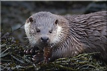 HP5605 : Otter (Lutra lutra), Westing by Mike Pennington