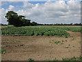 TL6980 : Potato crop by Undley Road by Hugh Venables