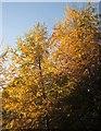 SX9064 : Larches below The Rainbow by Derek Harper