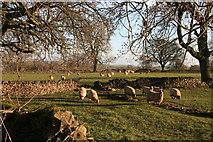 SK1862 : Sheep grazing beside Rake Lane by Graham Hogg