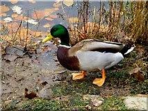 H4572 : Wild ducks, Omagh (3) by Kenneth  Allen