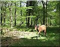 SU2206 : Pony in Beech Bed Inclosure by Hugh Venables