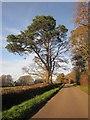 SY3499 : Pine by Wareham Road by Derek Harper