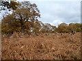TQ1972 : Red deer in the bracken, Richmond Park by Christine Johnstone