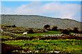 M3110 : Burren - Abbey Hill (293.8), Livestock in Field below surrounded by Stone Walls by Joseph Mischyshyn