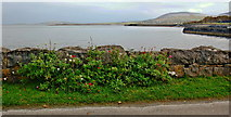 M2208 : Ballyvaghan - Plants along Sea Wall near Oceanville B&B by Joseph Mischyshyn
