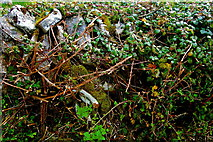 M2300 : Burren - Poulnabrone Dolmen Area - Vine Covered Stone Wall along Path by Joseph Mischyshyn