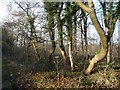 SE4431 : Trees on the southern edge of Peckfield Plantation by Christine Johnstone