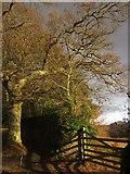 SX7962 : Oak and gate, Dartington by Derek Harper