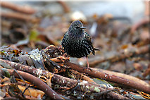 HP5605 : Starling (Sturnus vulgaris), Westing beach by Mike Pennington