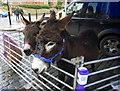 TR0161 : Donkeys at the Faversham Christmas Market by pam fray