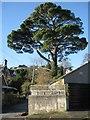 SX9373 : Monterey Pine, Elmonte Close by Robin Stott