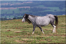 SO1544 : Welsh Pony near the Begwyns Roundabout by Christine Matthews