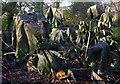 TQ8353 : Rhubarb crumbles by Ian Taylor