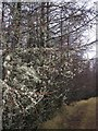 NG7018 : Lichens like larches by Richard Dorrell