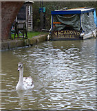 SP6989 : Young swan on the Grand Union Canal by Mat Fascione