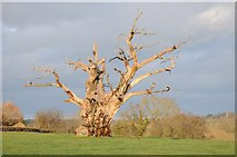 SO8732 : Ancient oak tree by Philip Halling