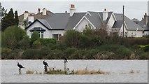 J3731 : Cormorants on the almost submerged Castle Park Lake Island by Eric Jones