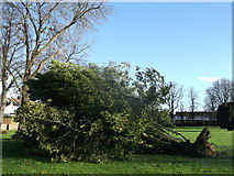 TQ7868 : Storm damage in St Mary's Cemetery (3) by David Anstiss