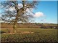 SK4337 : Oak Tree in Crop Field near Boyah Grange by Jonathan Clitheroe