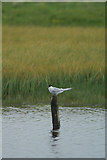 HP6312 : Arctic Tern (Sterna paradisaea), Haroldswick pool by Mike Pennington