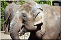 SJ4170 : Asian elephant at Chester Zoo by Jeff Buck