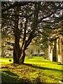 TQ0589 : Veteran yew tree, Harefield churchyard by Stefan Czapski