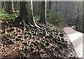 ST5577 : Knobbly roots, Hazel Brook valley by Derek Harper