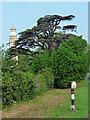 ST7367 : Cedar near Lansdown by Stephen Richards