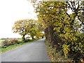 NZ2846 : Roadside trees by Robert Graham