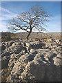 SD5480 : Ash tree on Farleton Fell by Karl and Ali