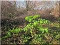 SX9066 : Giant Hogweed, Barton tip by Derek Harper