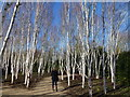 TL5362 : Silver birches in The Winter Garden by Richard Humphrey