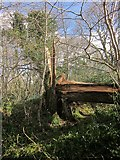 SX4561 : Split tree, Warleigh Wood by Derek Harper