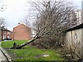 SJ9594 : Blown down in the gales by Gerald England