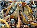J4583 : Seaweed, Grey Point, Helen's Bay (1) by Albert Bridge
