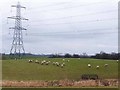 NZ1071 : Sheep under the power lines by Oliver Dixon