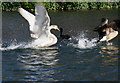 SK2268 : Swan sees off Canada Goose by Peter Barr